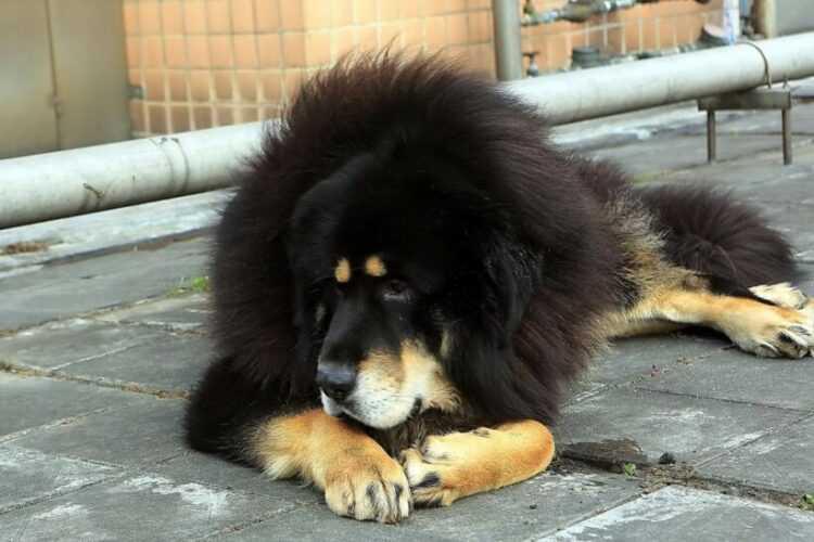 Самая дорогая порода собак в мире – какая она и сколько стоит?   wikiq.ru