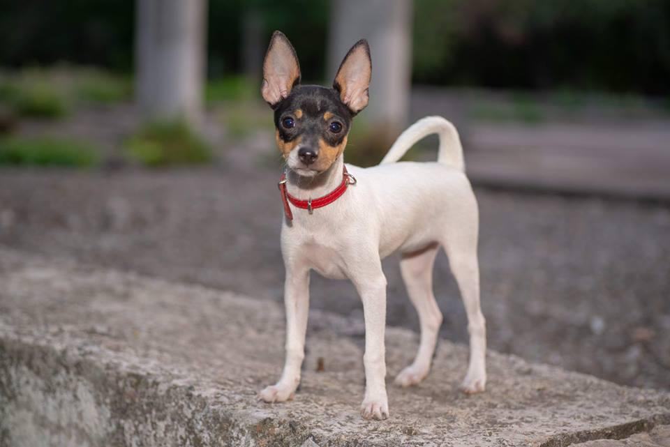 Фокстерьер: фото собаки, цена, описание породы, характер, видео фокстерьер: фото собаки, цена, описание породы, характер, видео