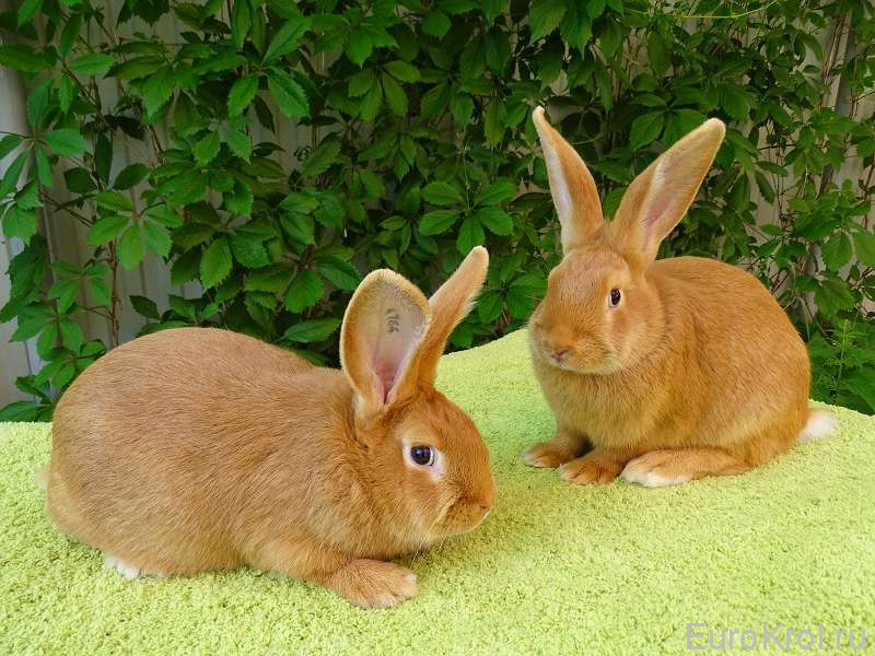Бургундские кролики — описание породы, характеристика, особенности содержания и разведения