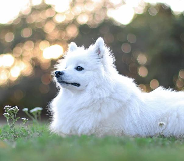 Японский шпиц ???? фото, описание, характер, факты, плюсы, минусы собаки ✔