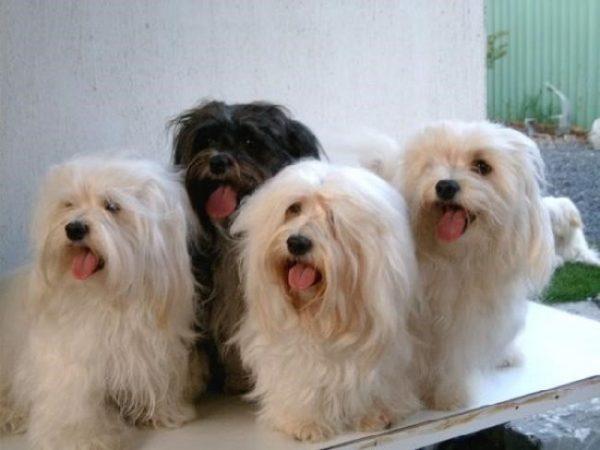 Мальтипу: все о собаке, фото, описание породы, характер, цена
