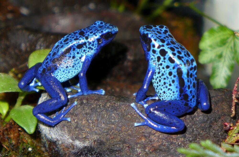 Самые ядовитые лягушки в мире - фото и описание