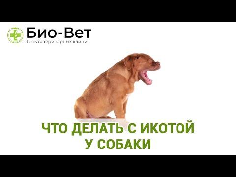 """Почему собака после еды срыгивает: причины, симптомы, диагностика, лечение и профилактика   блог ветклиники """"беланта"""""""