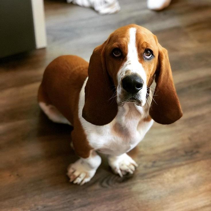 Породы маленьких собак с большими ушами
