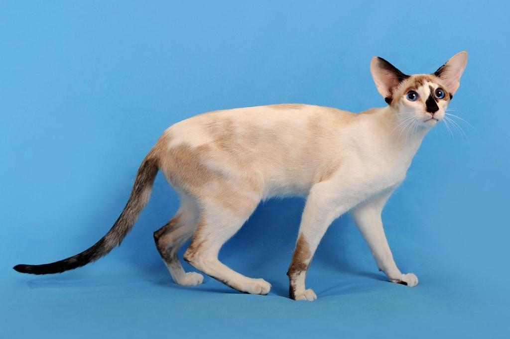 ⓘ сейшельская кошка - порода кошек, выведенная в великобритани