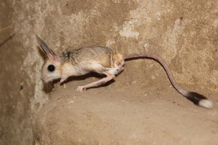 Тушканчик: описание животного, среда обитания, образ жизни, питание, размножение, интересные факты