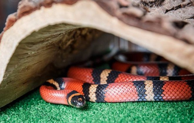 Молочная змея: питание, уход и разведение в домашних условиях