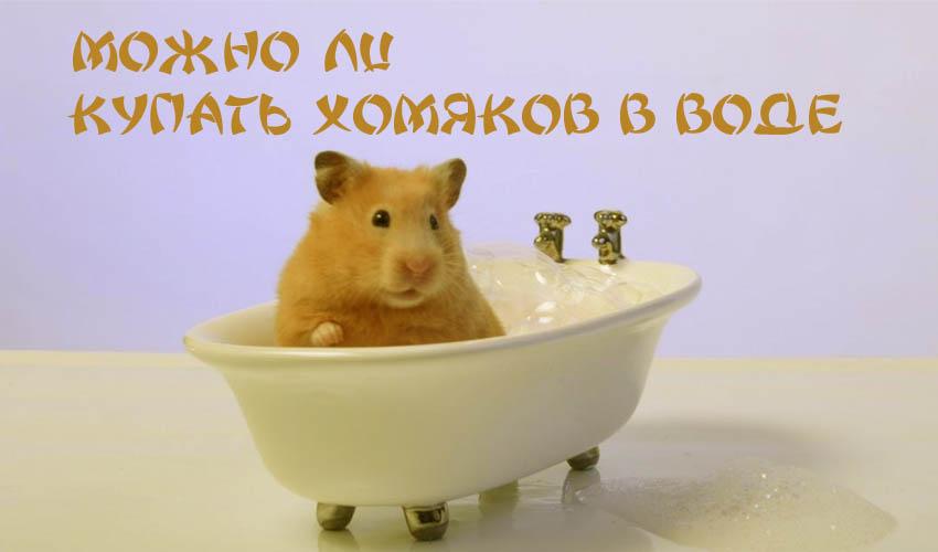 Купание хомяков: мыть или не мыть?
