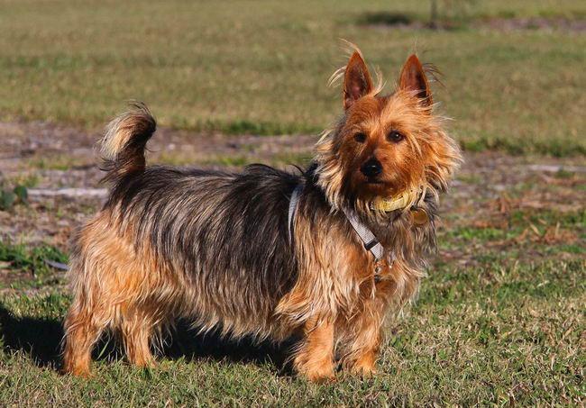 Австралийский шелковистый силки терьер: фото и содержание собаки — компаньона с миловидной внешностью и неуёмной энергией