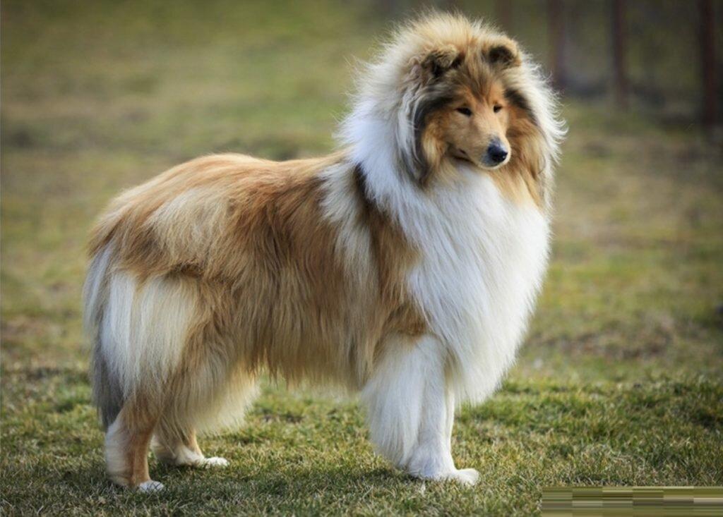 Шотландский колли: описание породы, характер собаки и щенка, фото, цена
