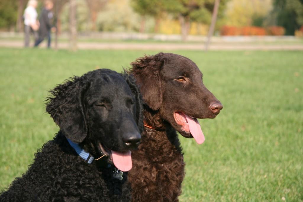 Собаки породы ретривер курчавошерстный, характерные особенности, история происхождения и стандарты породы