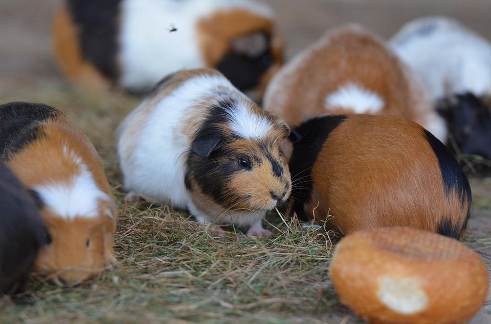Морская свинка - описание, виды, чем питаются, как содержать, уход