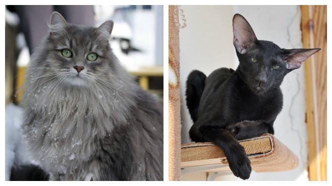 Особенности, разновидности и фото гипоаллергенных пород кошек, как за ними ухаживать