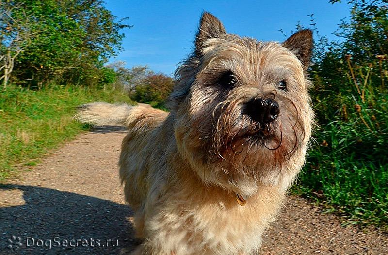Керн терьер — описание породы, стандарты, характер и цена собаки. 125 фото и видео описание керн терьеров