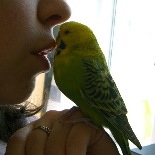 Как быстро и эффективно научить попугая разговаривать
