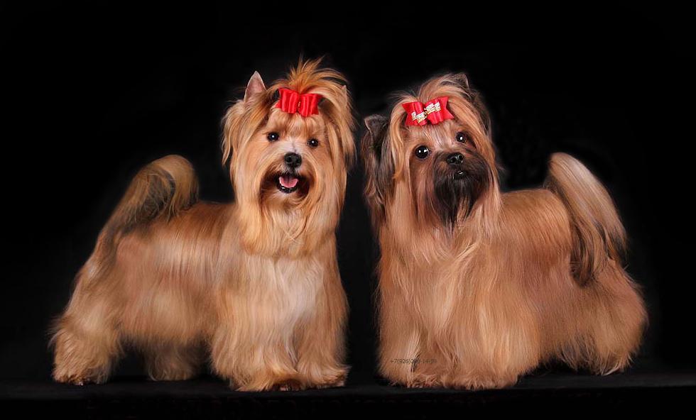 Rus kinosu порода собак