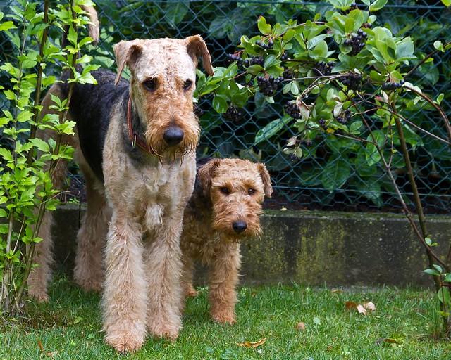 Мини эрдельтерьер (вельштерьер): описание породы, уход и содержание, плюсы и минусы собаки