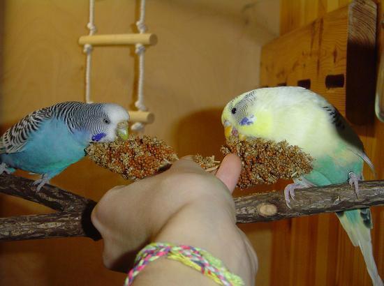 Как попугая приручить к рукам за 5 шагов