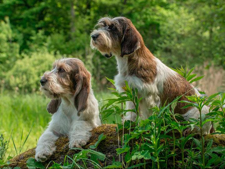 Малый вандейский бассет-гриффон: описание породы собак с фото и видео