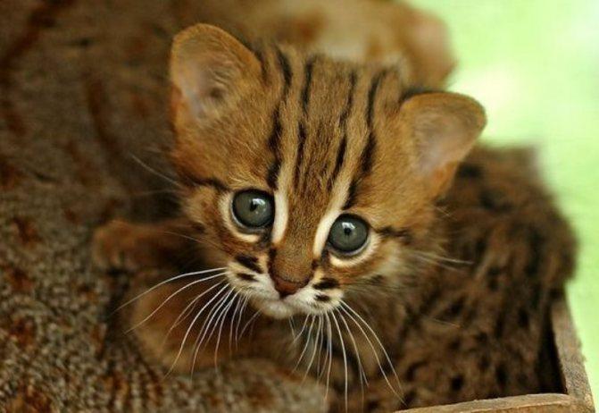 Ржавая кошка – самый мелкий хищник семейства кошачьих