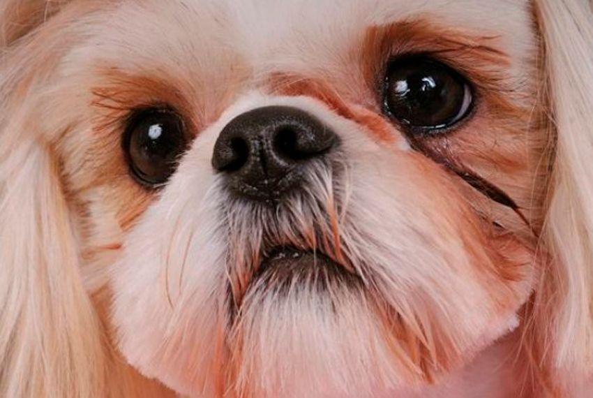 """Бельмо на глазу у собаки: причины, лечение и профилактика   блог ветклиники """"беланта"""""""