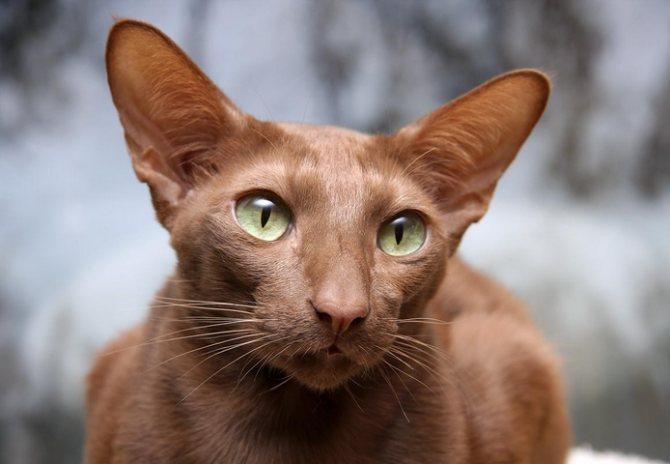 Яванская короткошерстная кошка: описание породы и особенности характера