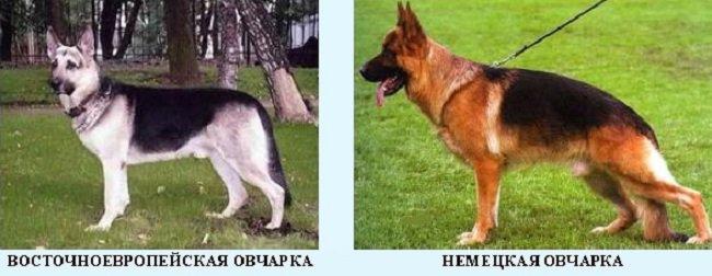 Чем отличаются немецкая и восточно европейская овчарка?