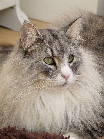 Особенности характера норвежской лесной кошки, уход и разведение