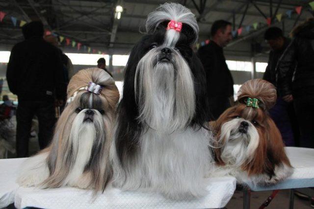 Описание декоративной породы собак ши-тцу с фото