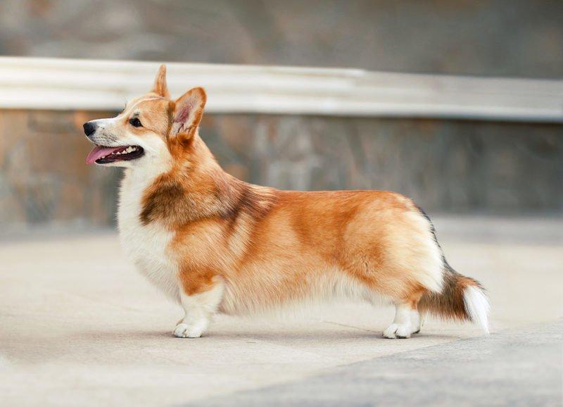 Как называется порода собак на коротких лапках