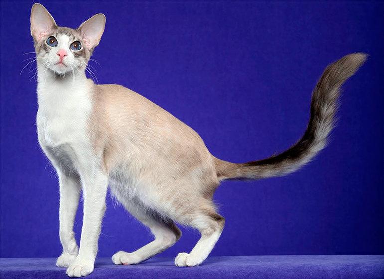 ⓘ сейшельская кошка - порода кошек, выведенная в великобритании в 80-х годах двадцатого века. кошки этой породы являются родственными ориентальной породе. отличит ..
