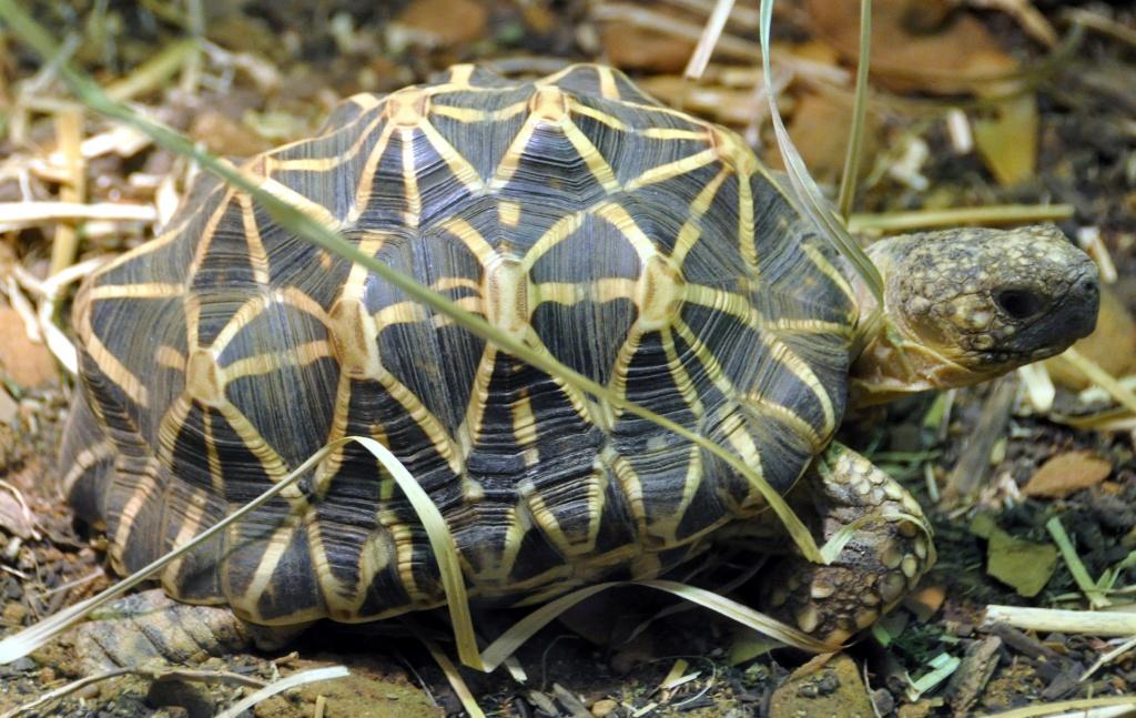 Звездчатая черепаха: фото, содержание и уход, болезни