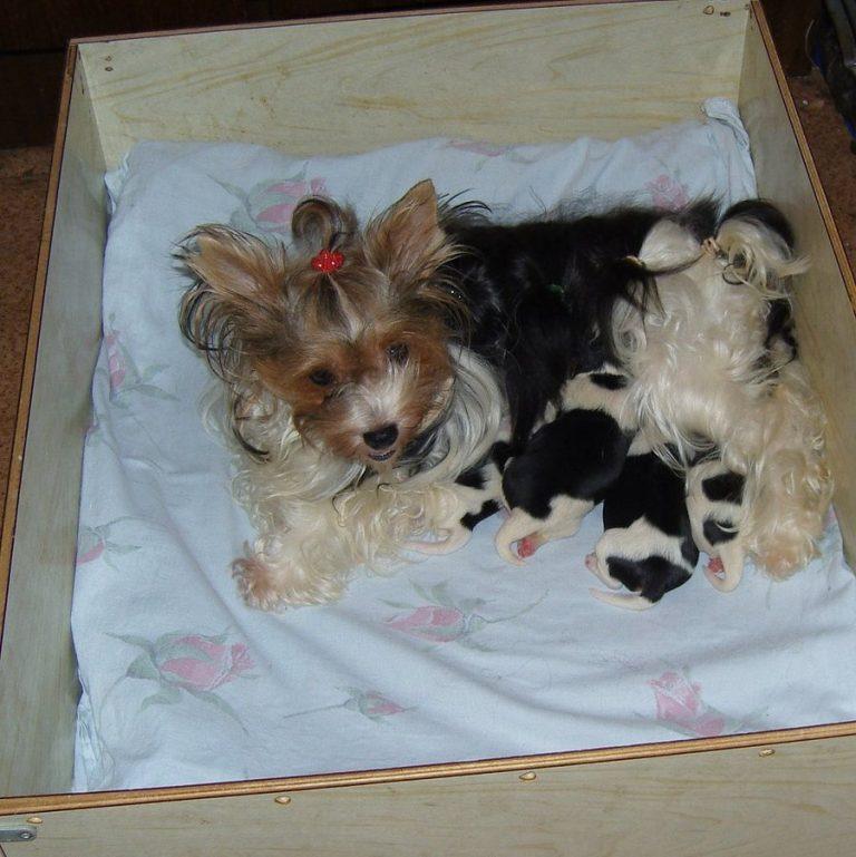 Йорк – беременность и роды, послеродовой уход за собакой и щенками