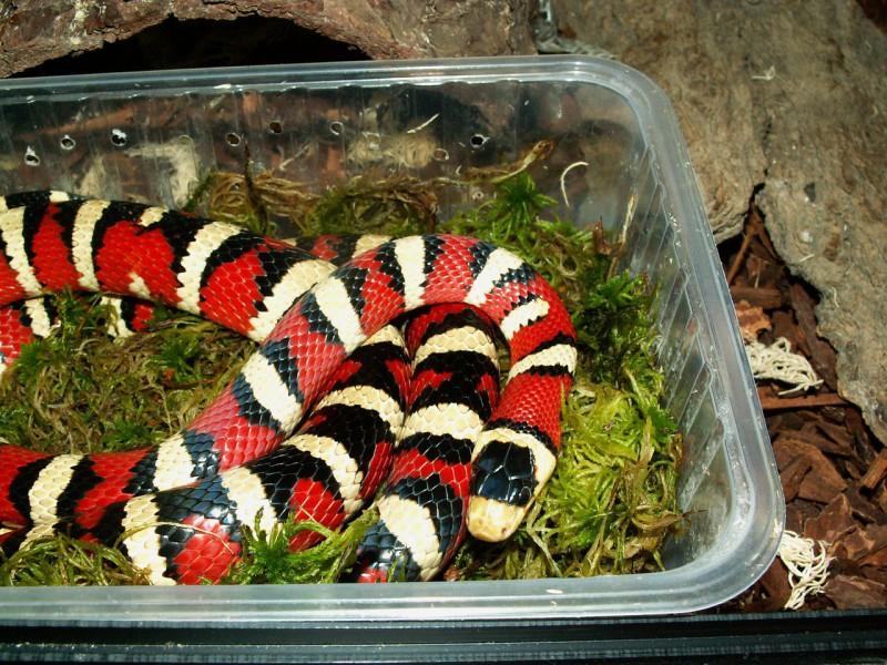 Домашние змеи: виды и цены, чем кормить, фото, видео