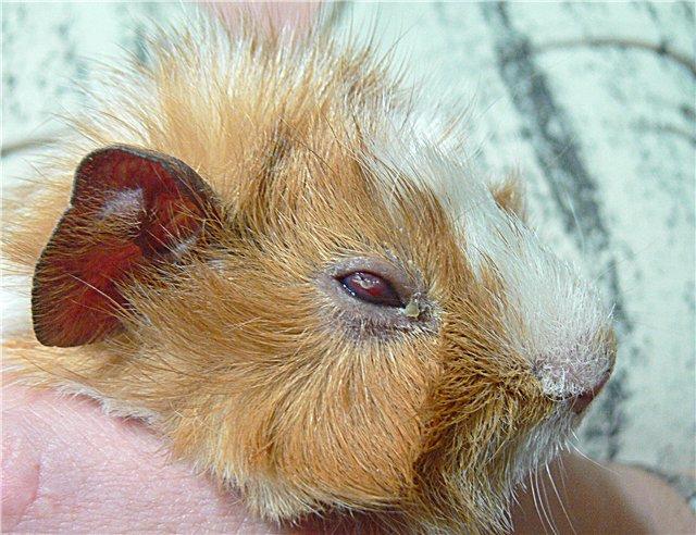 Болезни морских свинок: симптомы и лечение