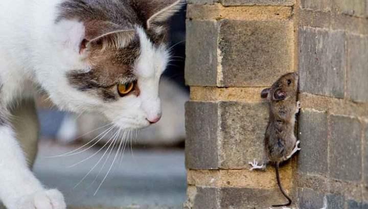 Какие породы кошек лучше всего ловят мышей?