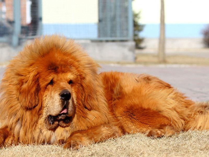 Самые дорогие собаки в мире — топ-10 пород с фото, ценами и описаниями