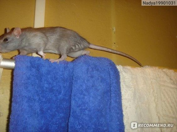 Крыса дамбо: уход и содержание в домашних условиях, чем кормить, сколько живут, чем отличается от обычной, плюсы и минусы, характер