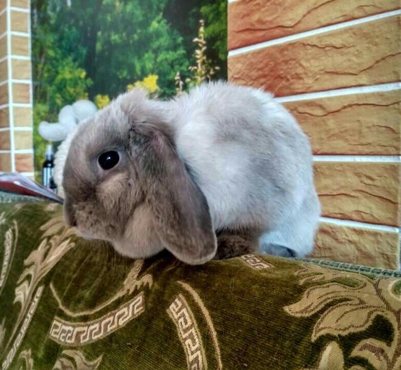 Сколько стоит декоративный кролик в зоомагазине: цена