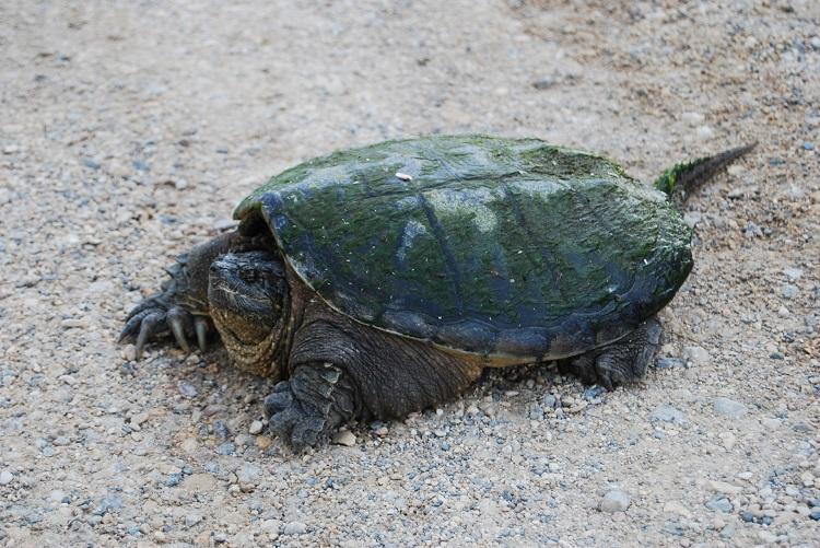 Чем кормить каймановую черепаху
