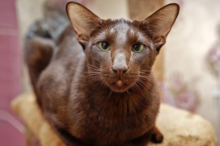 Гавана браун (гавана) - порода кошек - информация и особенностях | хиллс
