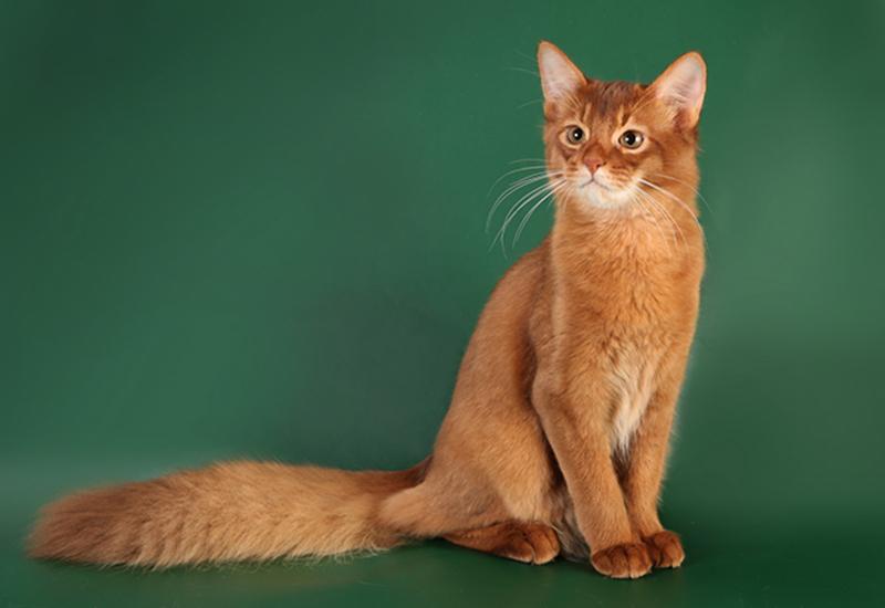 Сомалийская кошка: описание породы, фото, цена и характер