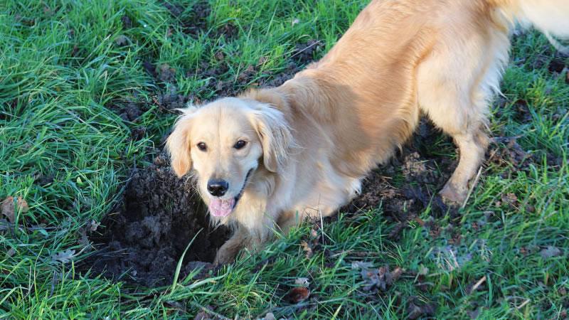 Почему собака роет ямы во дворе: выявляем и исправляем причины некорректного поведения