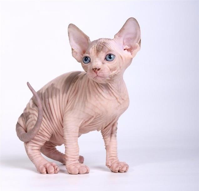 Кот бамбино — лысая такса в мире кошек