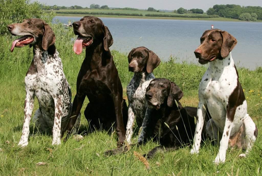 Английский пойнтер собака. описание, особенности, виды, уход и цена породы | живность.ру