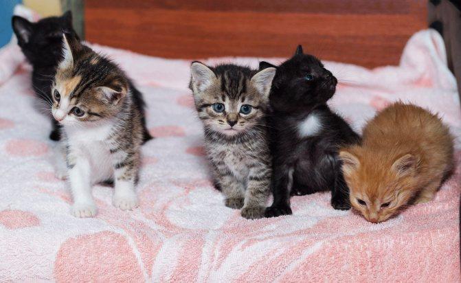 Кого лучше брать для разведения кота или кошку?