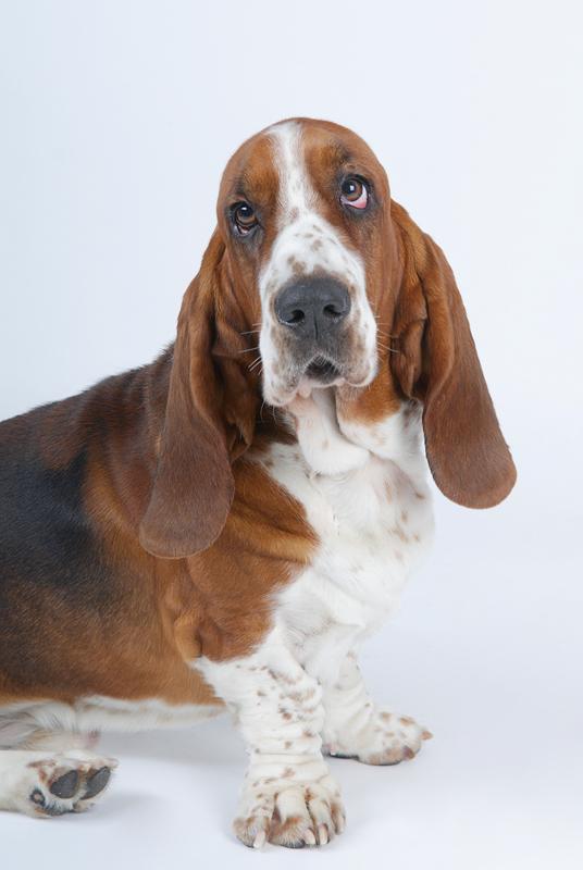 Как выглядит собака с длинными ушами? краткое описание пород :: syl.ru