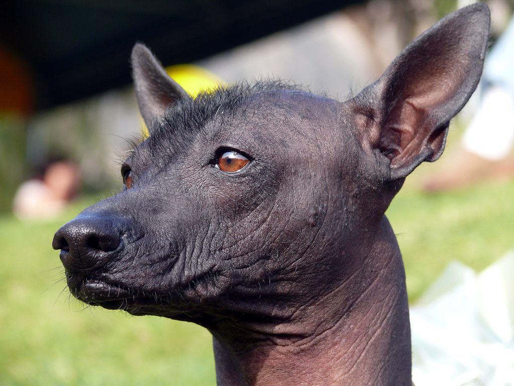 ᐉ петербургская орхидея собака описание породы - zoomanji.ru