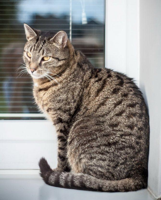 10 самых полосатых пород кошек от аборигенных до непризнанных всемирными ассоциациями