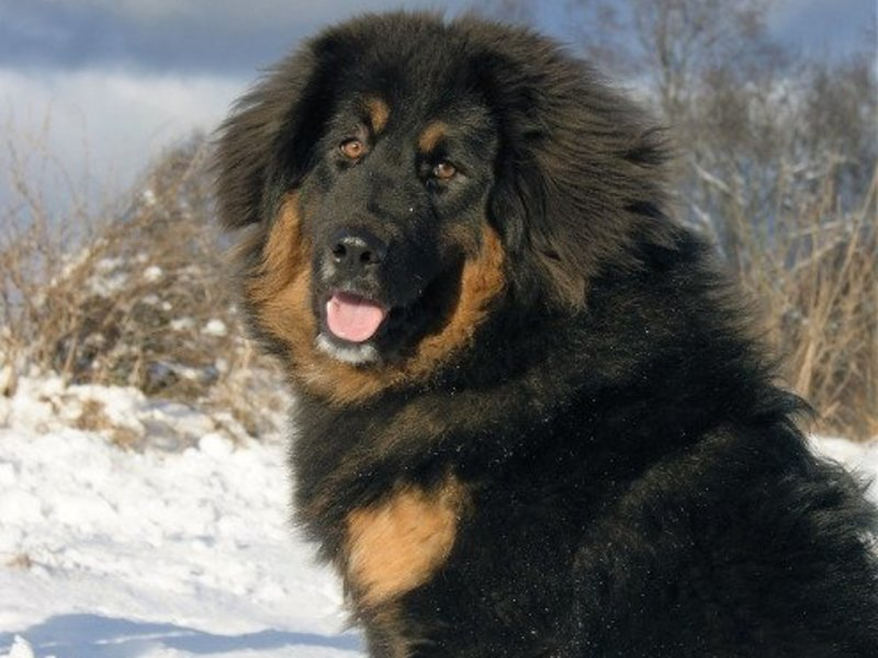 Монгольская овчарка - банхар: характеристики породы собаки, фото, характер, правила ухода и содержания - petstory